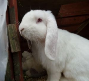 Earl english lop rabbit available for adoption in for Koi carp henlow