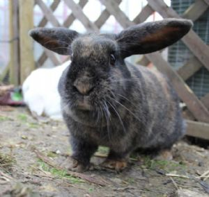 Maylin dwarf lop rabbit available for adoption in for Koi carp henlow