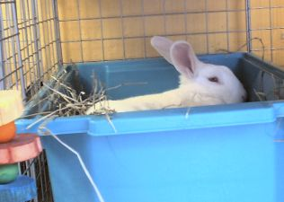 fostering rabbits - frosty in his litter box