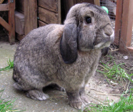 German Lop