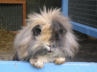 Lion head lop rabbit