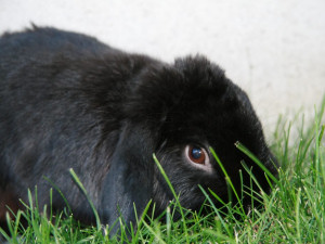 Adopt A Rescue Bunny From Rabbit Rehome Rabbit Breeds