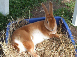 orange mini rex
